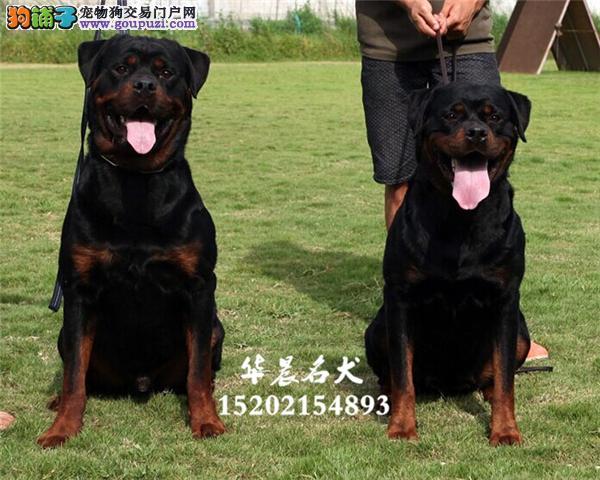 出售德系罗威纳幼犬高大威猛四肢粗壮品相好疫苗已做
