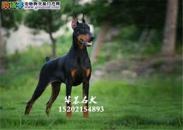 银川市杜宾极品威猛狗狗幼犬待售全国发货