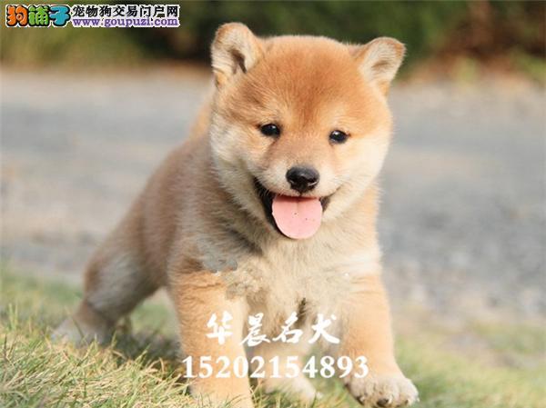 银川市专业繁殖柴犬顶级正宗幼犬全国发货
