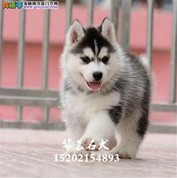 深圳市家养哈士奇漂亮精品幼犬待售全国发货