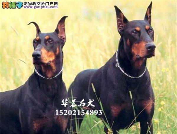 护卫犬德、美系杜宾犬 气质出众 皇家部队犬