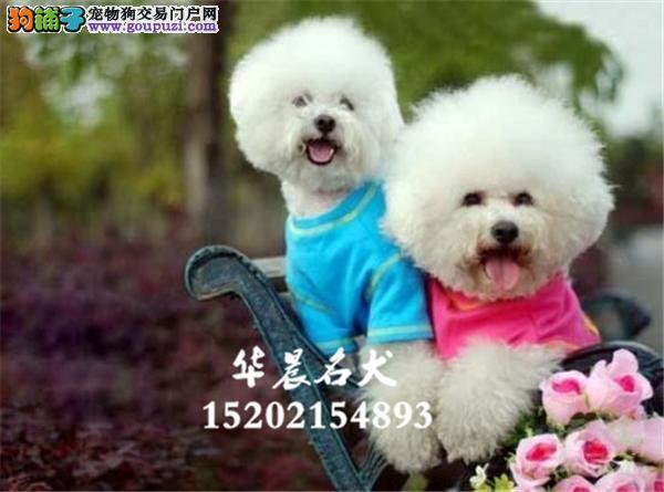 深圳市犬舍比熊精品三个月送用品全国发货