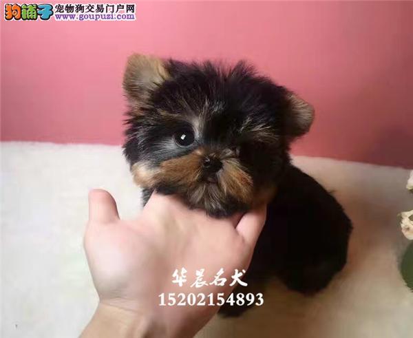 深圳市约克夏顶级聪明小全国发货