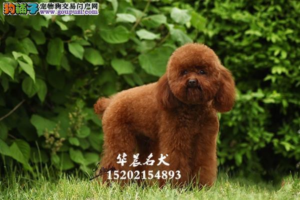 深圳市泰迪赛级幼犬疫苗已做全国发货