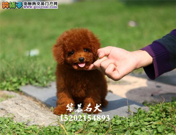 深圳市犬舍泰迪纯种带证书包纯种全国发货