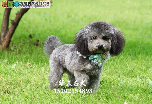 延安市最大犬舍泰迪骨量足好养多色全国发货
