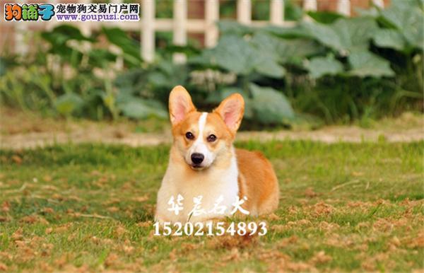 陕西专业繁殖柯基高品质犬双血统全国发货