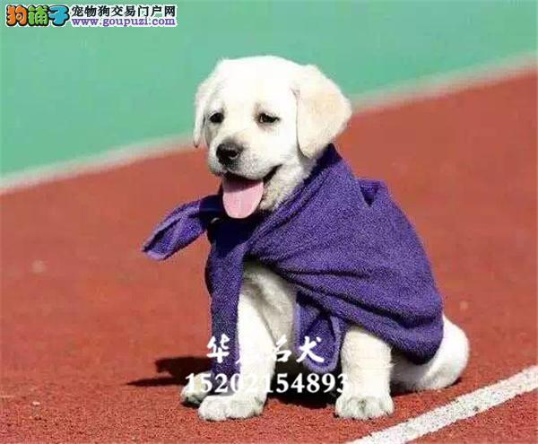陕西犬舍拉布拉多乖巧帅气宽嘴全国发货