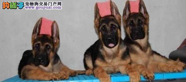 黄浦区多种颜色狼狗繁殖场 黄浦区出售狼狗