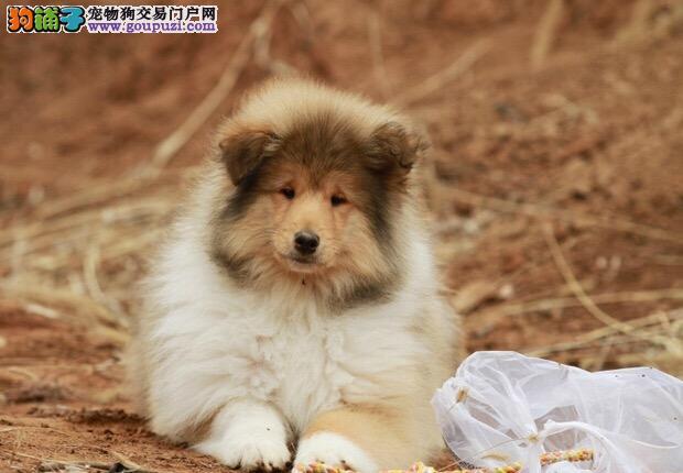 纯种可爱聪明的苏牧幼犬,可上门挑选价格合理品质