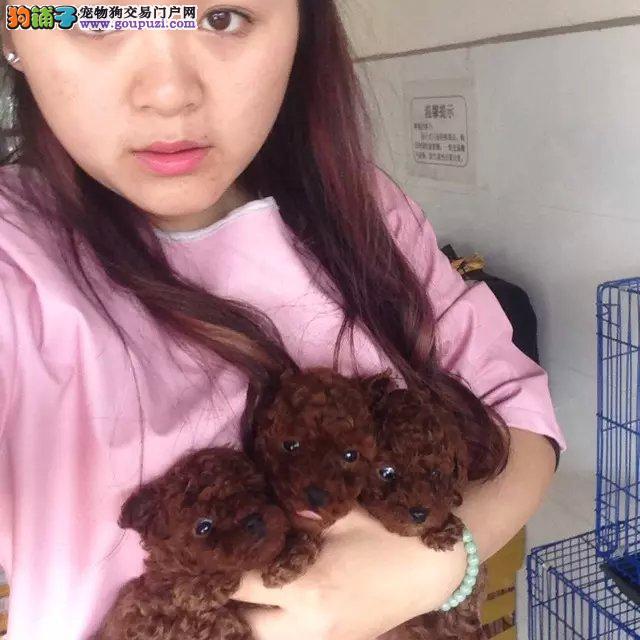 南宁本地超可爱纯种泰迪熊幼犬找主人啦,自取1000