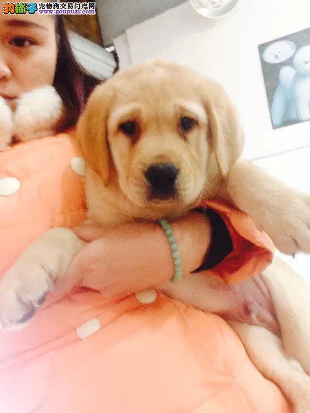 南宁本地家养一窝纯种聪明拉布拉多犬出售 自取1000