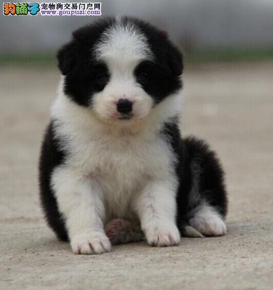 纯种边牧犬 边牧幼犬 保证质量 保证健康 全国免邮
