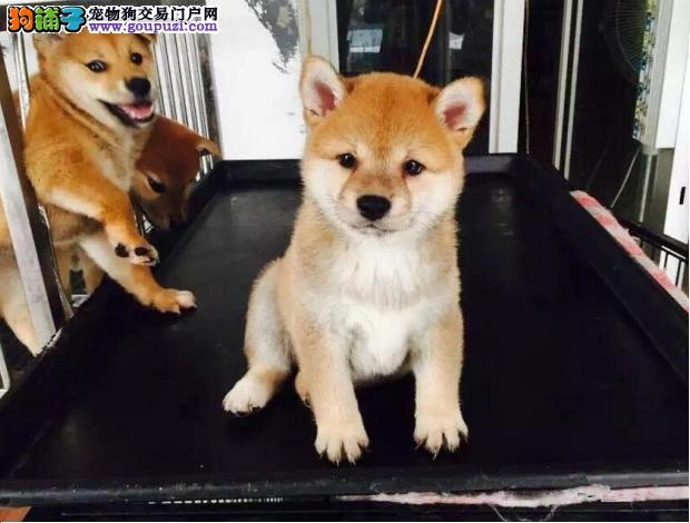 昆明柴犬纯种日系温顺 稳重 忠诚的秋 自取1000一只