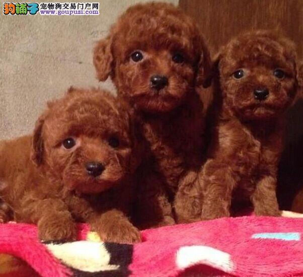 韩国引进 贵宾幼犬萌呆幼犬 质保出售可签订活体协议