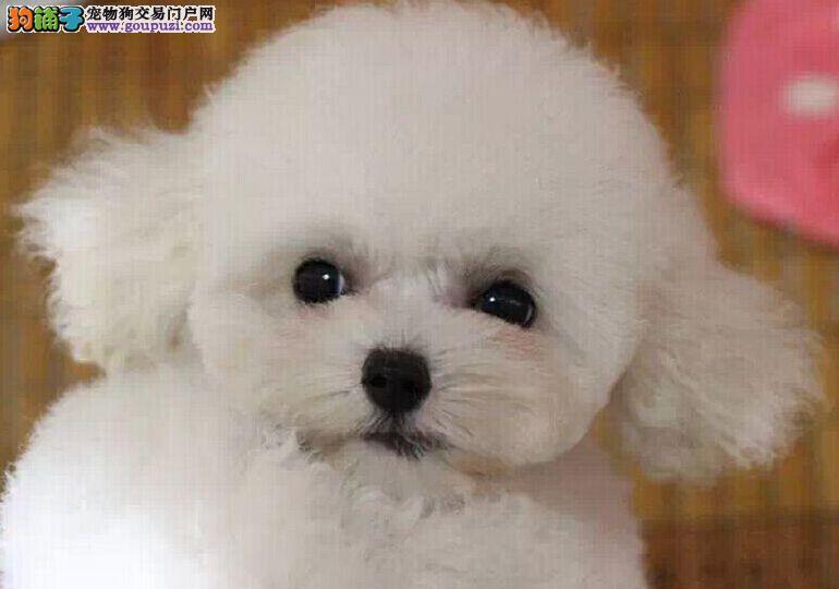 大眼睛甜美卷毛比熊幼犬 包纯种健康 签终身合同