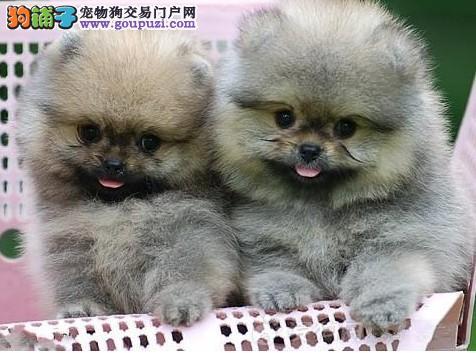 女神最爱纯种哈多利球体博美幼犬出售俊介博美专业繁殖