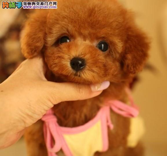 本市可送货 纯种韩系贵宾犬 茶杯、玩具 可爱至极