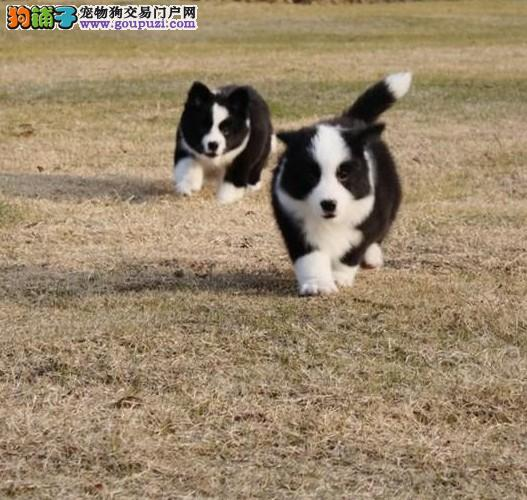 赛级边牧、随时视频看狗、可送货上门、签协议保健康