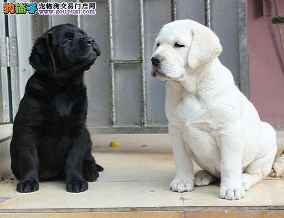 冠军级种犬后代拉布拉多犬、包活、带健康证、签合同