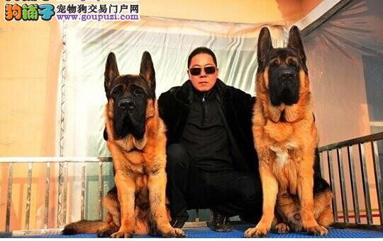锤系超大头版德国牧羊犬 黑神瓦尔特等名犬血系