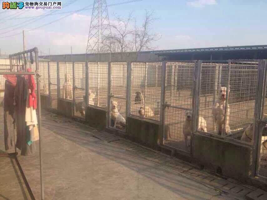 松江区杜高犬价格照片犬舍基地出售