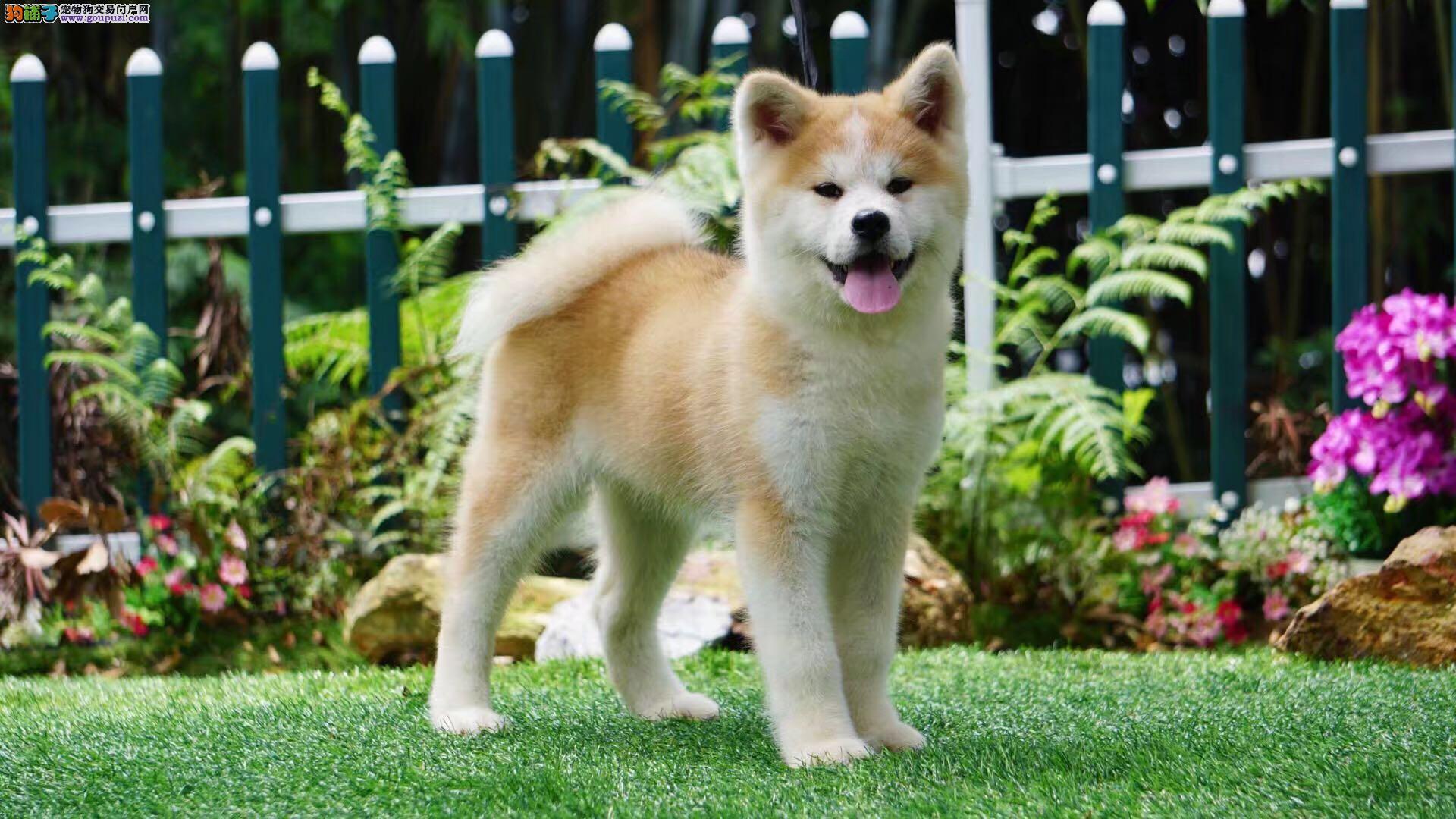 忠犬八公日系秋田犬幼犬 保证健康纯种 宠物狗活体