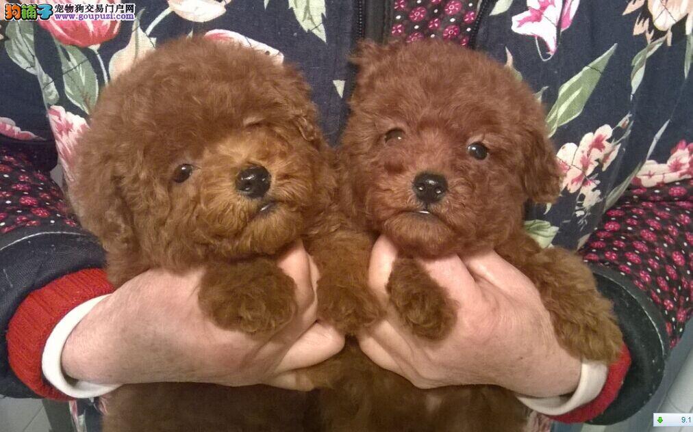 普陀区哪里买贵宾犬图片