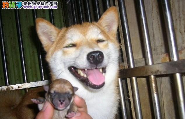 上海纯种柴犬可视频可上门 保纯保健康.自取1000