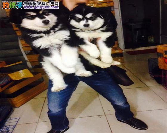 上海家有纯种巨型阿拉斯加幼犬出售 自取1000一只