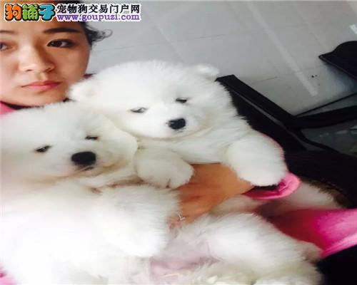 上海纯种萨摩耶健康可爱萨摩幼犬 自取1000一只