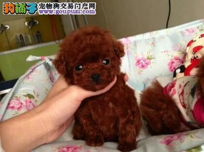 苏州本地纯种泰迪熊幼犬,自取1千一只 包健康