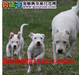 养殖繁育基地出售杜高犬幼犬质量有保障