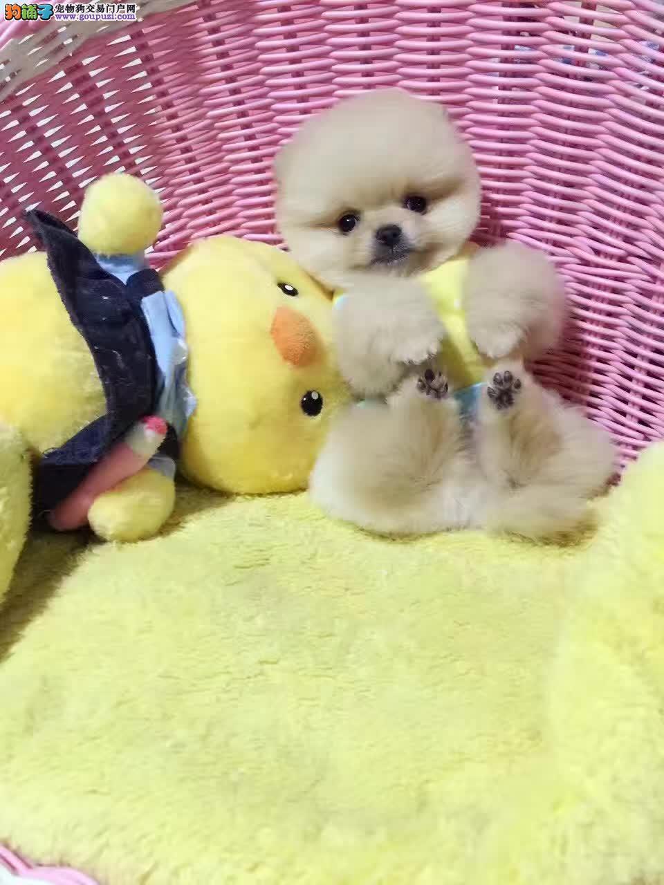 哈多利博美俊介博美幼犬出售 保健康