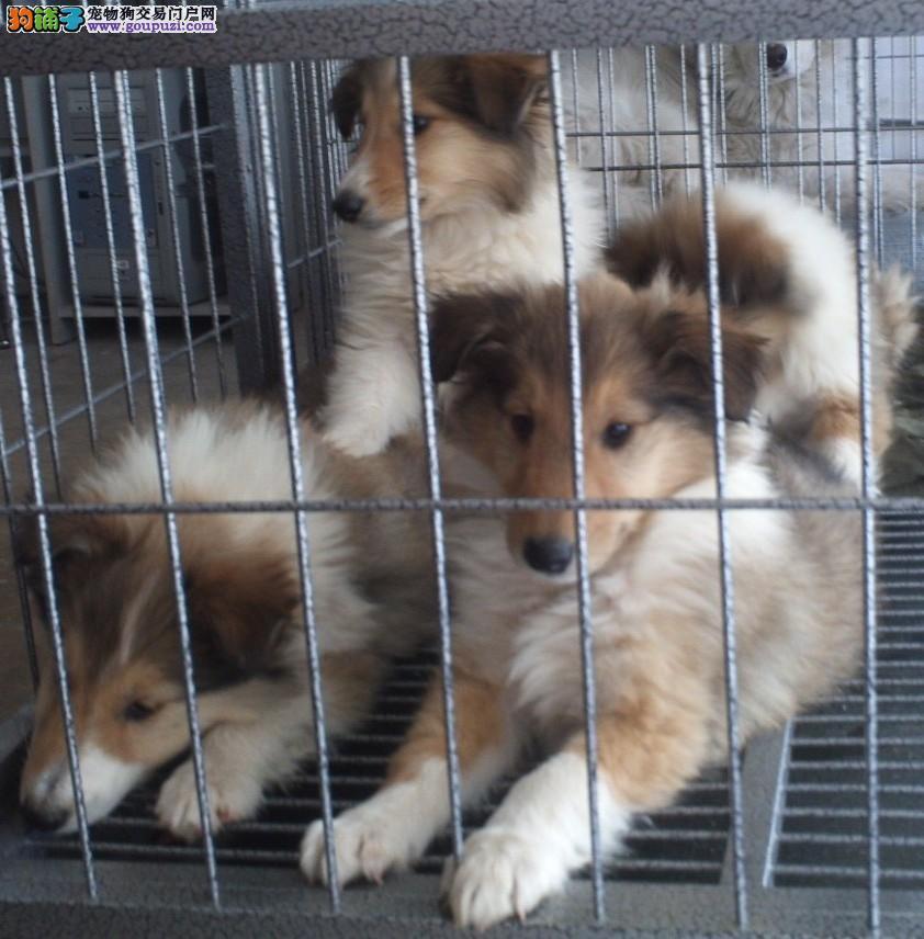 专业狗场有苏格兰牧羊犬卖吗云南专业养殖场直销