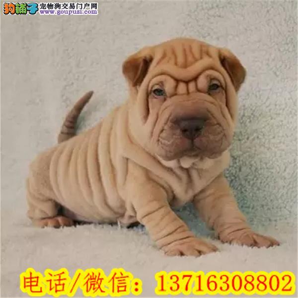 出售高品质沙皮狗幼犬 血统纯正 体型完美 健康纯血