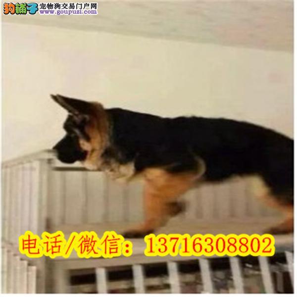 出售双血统锤系德国牧羊犬自家繁殖CKU注册犬舍