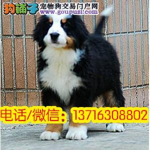纯种伯恩山犬幼犬 犬舍直销 大型看护、有保障