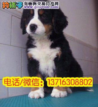 纯种伯恩山犬幼犬 犬舍直销 大型看护、伴侣犬