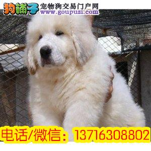 赛级大骨量大白熊幼犬赠户口多只可选 大体型