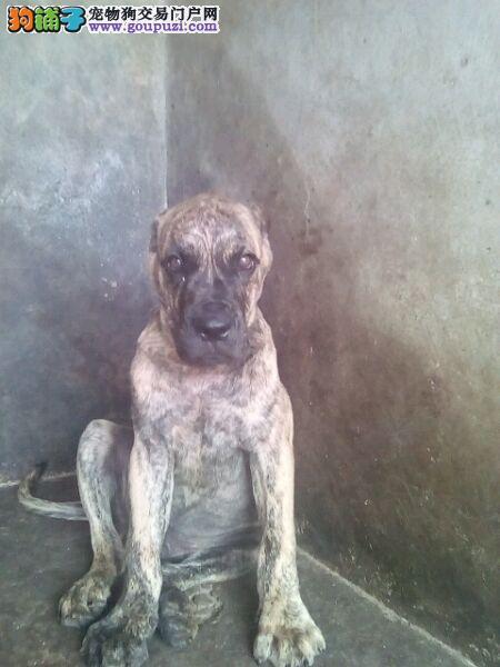 专业繁殖纯种 加纳利幼犬可送货上门.签协议保健康