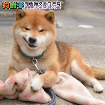 日本柴犬出售 哪里有日本柴犬卖柴犬多少钱一只
