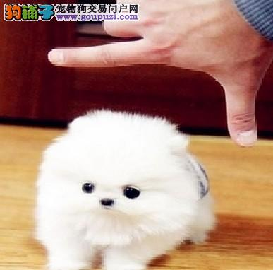 家养一窝漂亮的博美宝宝出售可视频看狗
