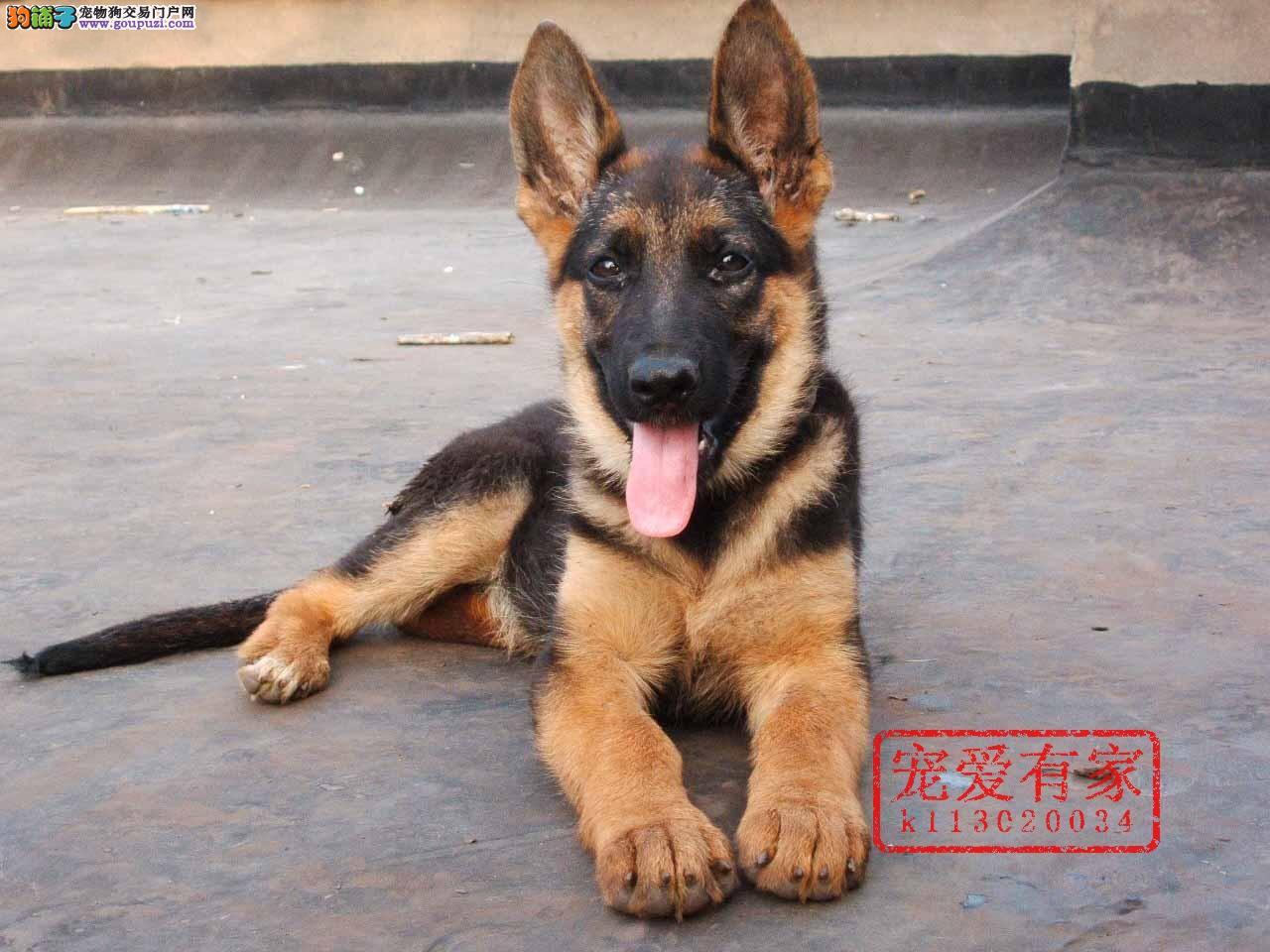 重庆纯种德国牧羊犬,黑背弓背,欢迎上门看狗