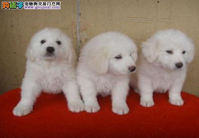 出售大白熊毛色雪白 健康 纯正的