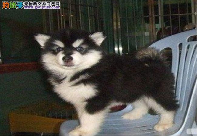出售完美健康的阿拉斯加小犬 血统纯正