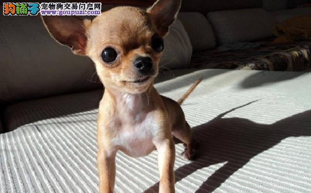 买健康吉娃娃幼犬的注意事项