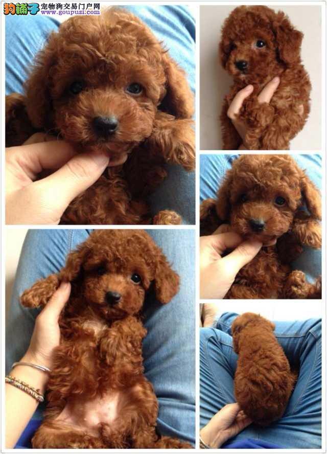 松江区买狗泰迪犬多少钱一只