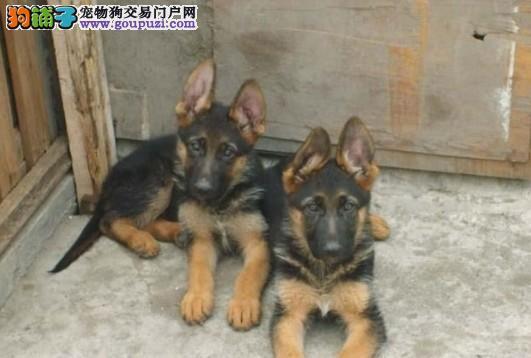 出售高品质赛级狼狗犬 支持上门挑选 包健康