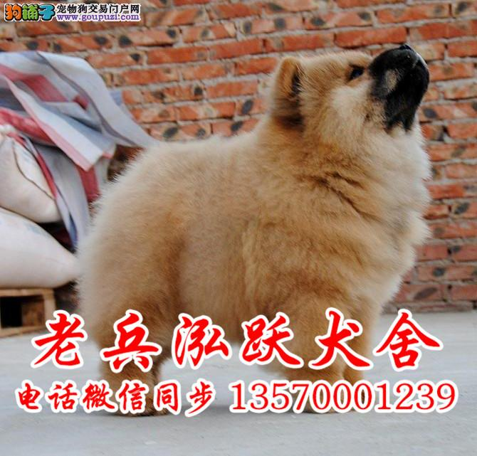 老兵高品质松狮犬宝宝热卖中质量三包签订活体保障协议